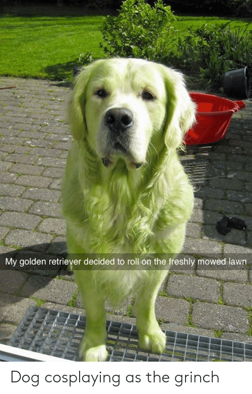 The Grinch, Golden Retriever, and Dog: My golden retriever decided to roll on the freshly mowed lawn Dog cosplaying as the grinch