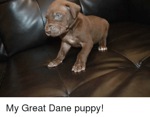 my great dane puppy 30156235 puppy and puppy meme on astrologymemes com
