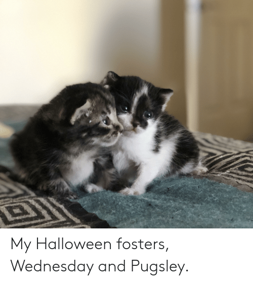 Halloween, Wednesday, and Fosters: My Halloween fosters, Wednesday and Pugsley.