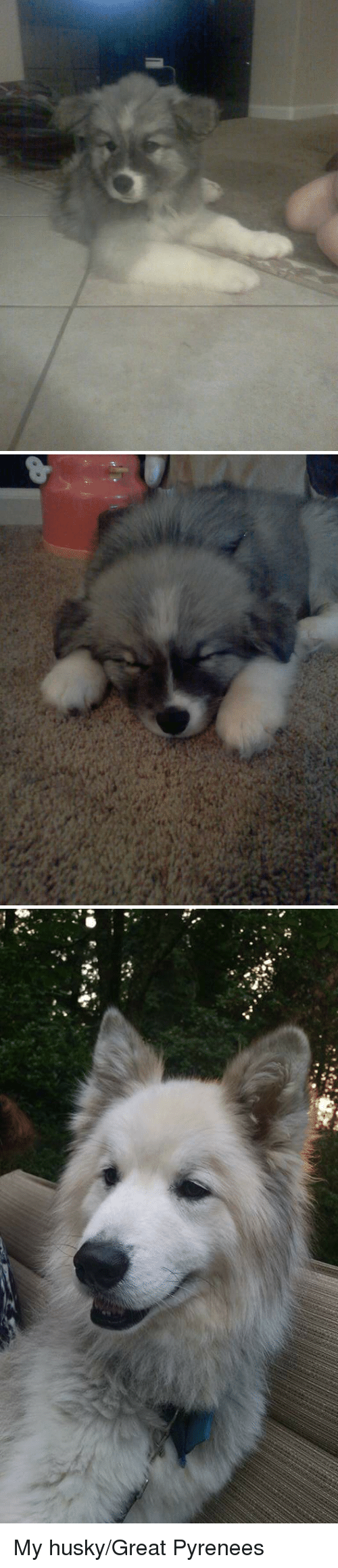 Blizzard: My husky/Great Pyrenees