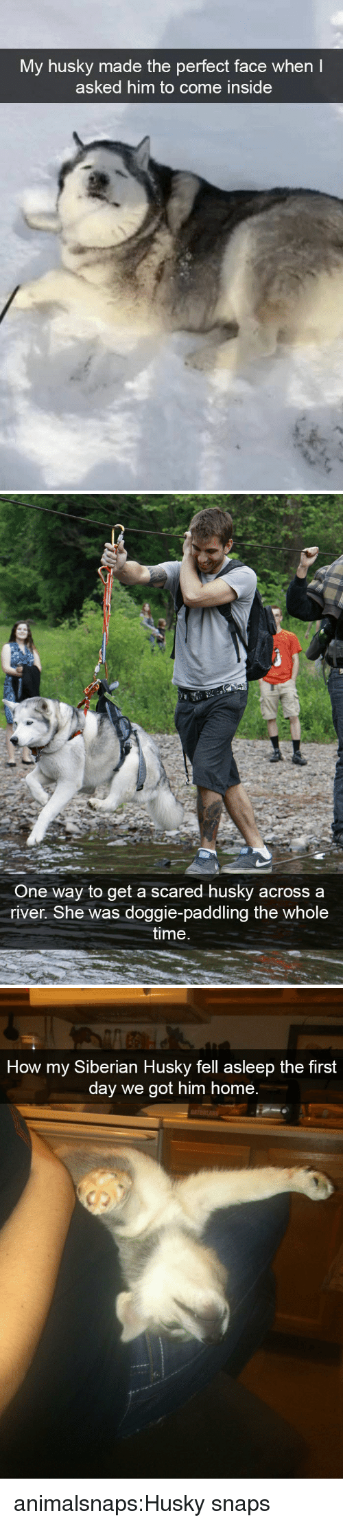 Target, Tumblr, and Blog: My husky made the perfect face when  asked him to come inside   One way to get a scared husky acrossa  river. She was doggie-paddling the whole  time   How my Siberian Husky fell asleep the first  day we got him home.  r. animalsnaps:Husky snaps