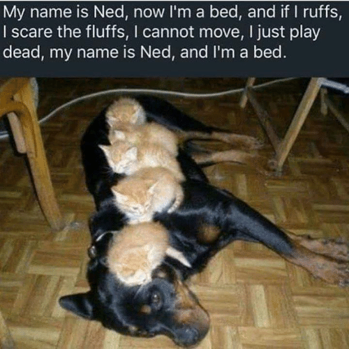 ned: My name is Ned, now I'm a bed, and if I ruffs,  I scare the fluffs, I cannot move, I just play  dead, my name is Ned, and I'm a bed.