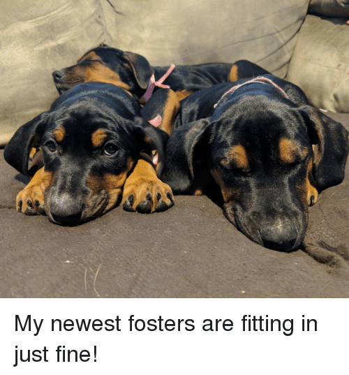 fosters: My newest fosters are fitting in just fine!