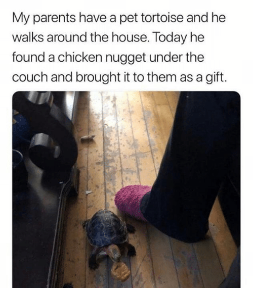 Dank, Parents, and Chicken: My parents have a pet tortoise and he  walks around the house. Today he  found a chicken nugget under the  couch and brought it to them as a gift.