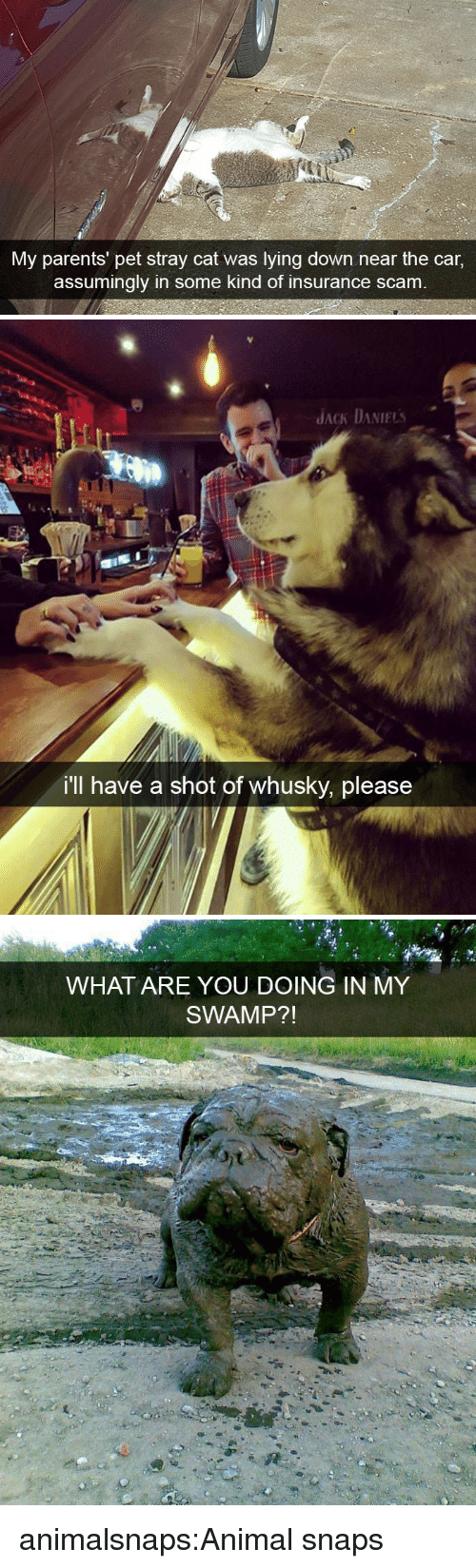 Parents, Target, and Tumblr: My parents' pet stray cat was lying down near the car,  assumingly in some kind of insurance scam   JACK DANIELs  i'll have a shot of whusky, please   WHAT ARE YOU DOING IN MY  SWAMP?! animalsnaps:Animal snaps