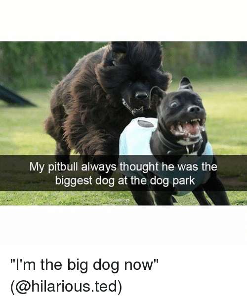 "ims: My pitbull always thought he was the  biggest dog at the dog park ""I'm the big dog now"" (@hilarious.ted)"