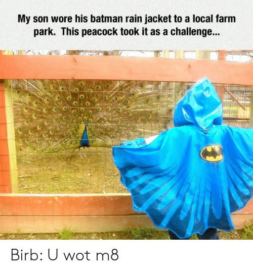 birb: My son wore his batman rain jacket to a local farm  park. This peacock took it as a challenge... Birb: U wot m8