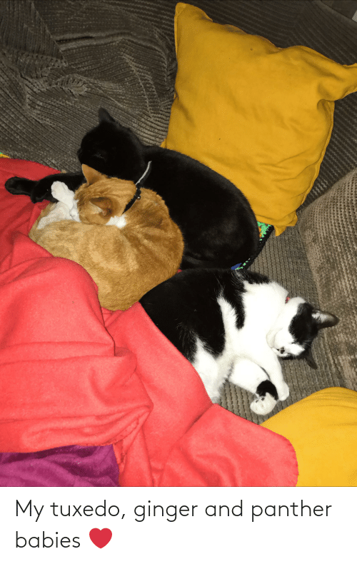 panther: My tuxedo, ginger and panther babies ❤️