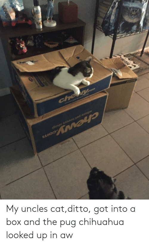 ditto: My uncles cat,ditto, got into a box and the pug chihuahua looked up in aw