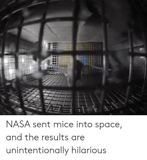 Nasa, Space, and Hilarious: NASA sent mice into space, and the results are unintentionally hilarious