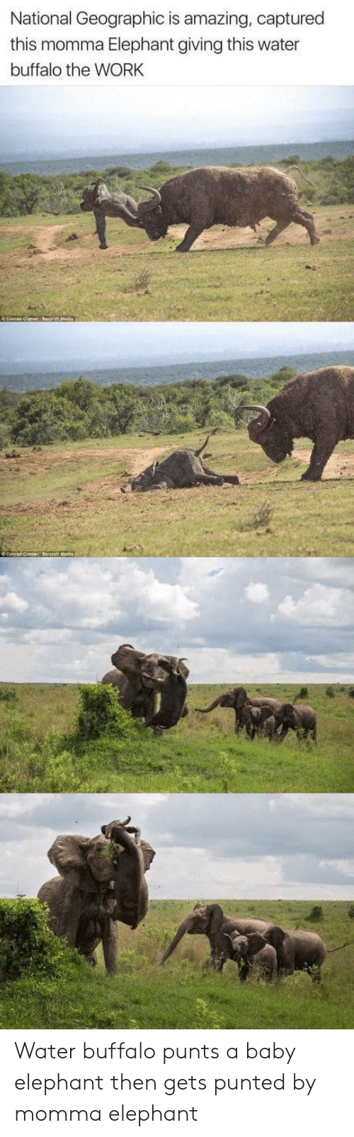 Baby Elephant: National Geographic is amazing, captured  this momma Elephant giving this water  buffalo the WORK Water buffalo punts a baby elephant then gets punted by momma elephant