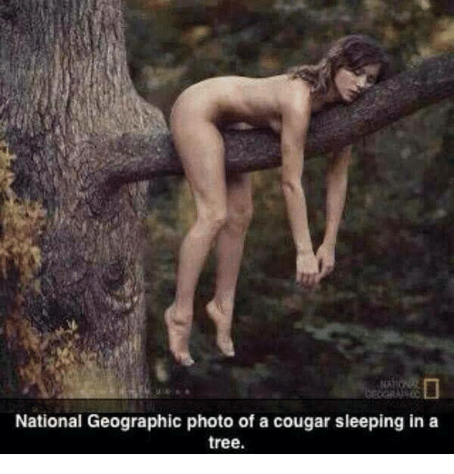 National Geographic, Tree, and Sleeping: National Geographic photo of a cougar sleeping in a  tree.