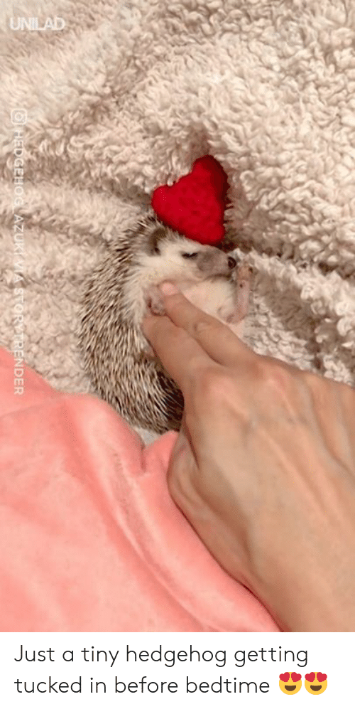Tucked: NDER Just a tiny hedgehog getting tucked in before bedtime 😍😍