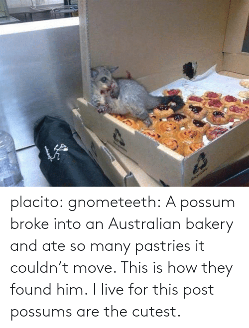 Pastries: Necylebia  RecrdaNe placito:  gnometeeth:   A possum broke into an Australian bakery and ate so many pastries it couldn't move. This is how they found him.  I live for this post  possums are the cutest.