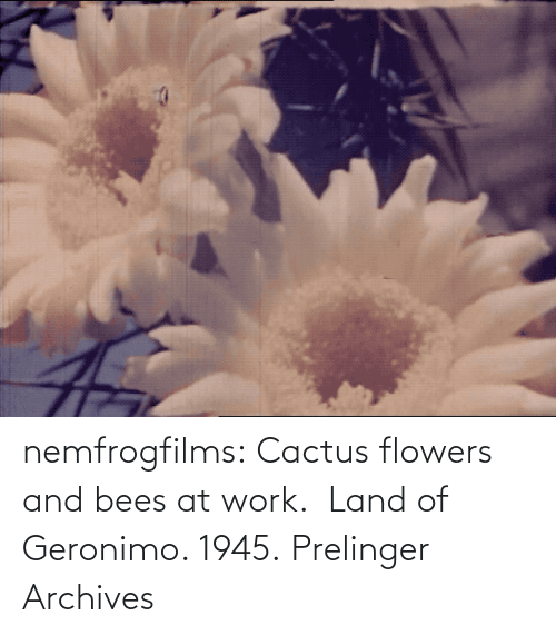 amp: nemfrogfilms: Cactus flowers and bees at work.  Land of Geronimo. 1945. Prelinger Archives