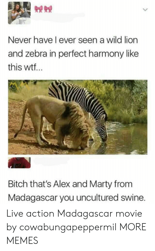 Bitch, Dank, and Memes: Never have I ever seen a wild lion  and zebra in perfect harmony like  this wtf..  Bitch that's Alex and Marty from  Madagascar you uncultured swine. Live action Madagascar movie by cowabungapeppermil MORE MEMES