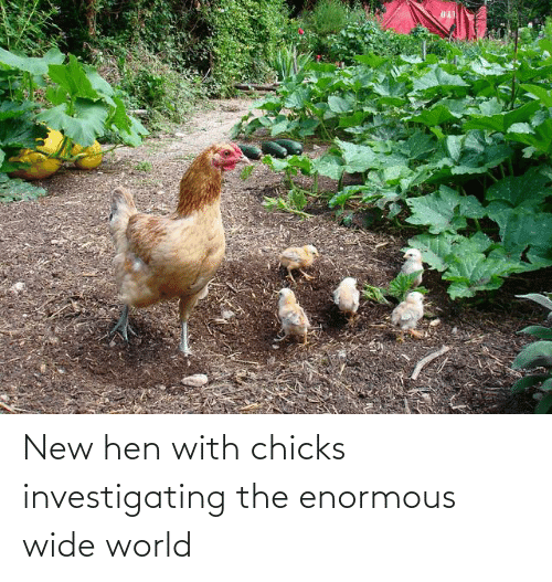 enormous: New hen with chicks investigating the enormous wide world