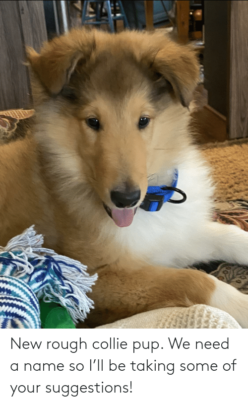 Rough: New rough collie pup. We need a name so I'll be taking some of your suggestions!