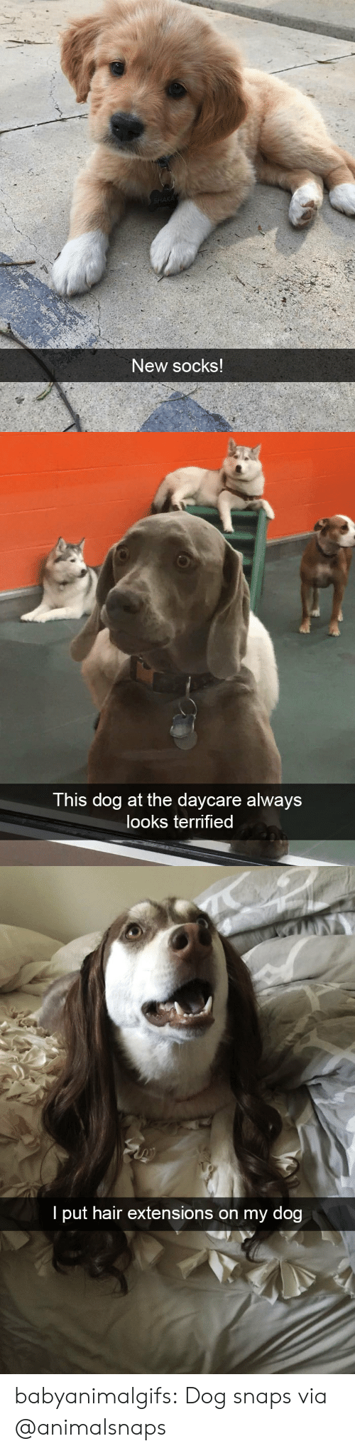 extensions: New socks   This dog at the daycare always  looks terrified   I put hair extensions on my dog babyanimalgifs: Dog snaps via @animalsnaps