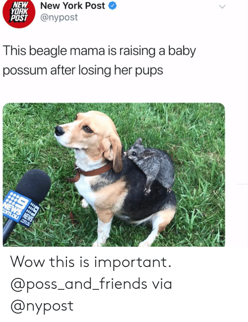 Nypost: New York Post  NEW  YORK  POST @nypost  This beagle mama is raising a baby  possum after losing her pups  NEWS NEWS  omLaucom.au Wow this is important. @poss_and_friends via @nypost