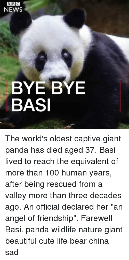 "giant panda: NEWS  BYE BYE  BASI The world's oldest captive giant panda has died aged 37. Basi lived to reach the equivalent of more than 100 human years, after being rescued from a valley more than three decades ago. An official declared her ""an angel of friendship"". Farewell Basi. panda wildlife nature giant beautiful cute life bear china sad"