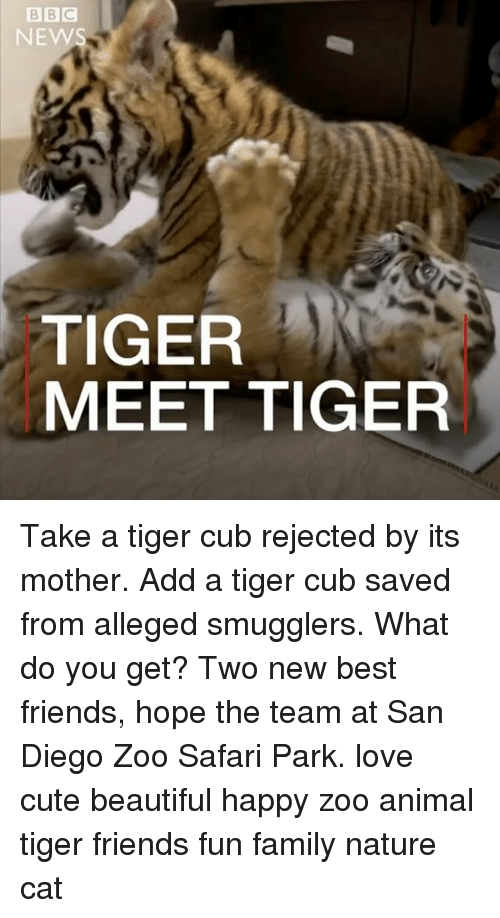 beautifull: NEWS  TIGER  MEET TIGER Take a tiger cub rejected by its mother. Add a tiger cub saved from alleged smugglers. What do you get? Two new best friends, hope the team at San Diego Zoo Safari Park. love cute beautiful happy zoo animal tiger friends fun family nature cat