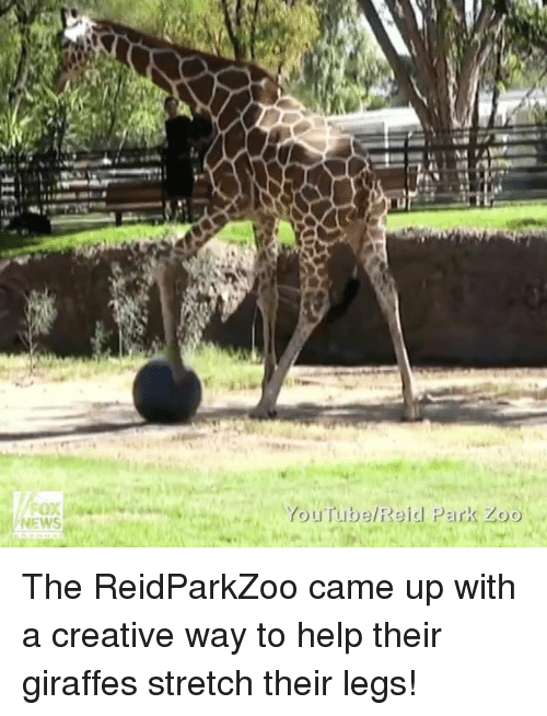 Memes, Giraffe, and Leggings: NEWS  YouTube Reid Park Zoo The ReidParkZoo came up with a creative way to help their giraffes stretch their legs!