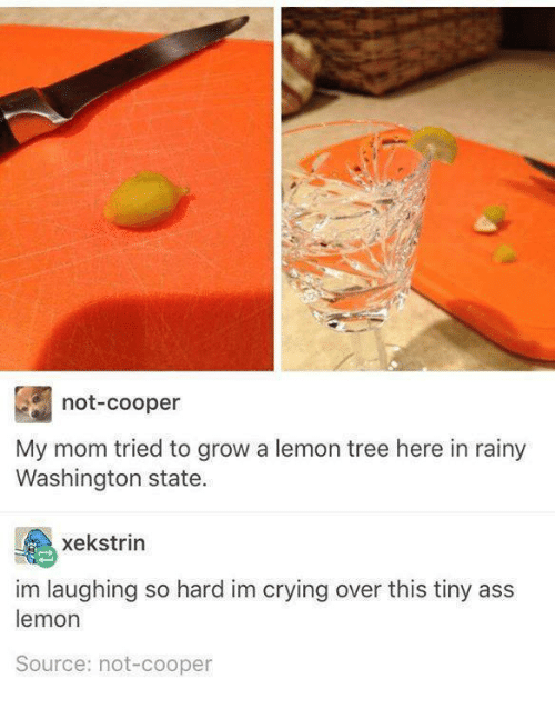 washington state: not-cooper  My mom tried to grow a lemon tree here in rainy  Washington state  xekstrin  im laughing so hard im crying over this tiny ass  lemon  Source: not-cooper