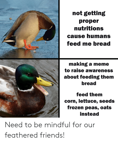 Friends, Frozen, and Meme: not getting  proper  nutritions  cause humans  feed me bread  making a meme  to raise awareness  about feeding them  bread  feed them  corn, lettuce, seeds  frozen peas, oats  instead Need to be mindful for our feathered friends!
