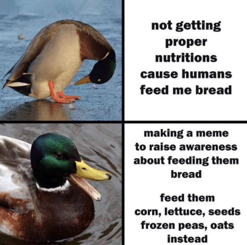 corn: not getting  proper  nutritions  cause humans  feed me bread  making a meme  to raise awareness  about feeding them  bread  feed them  corn, lettuce, seeds  frozen peas, oats  instead