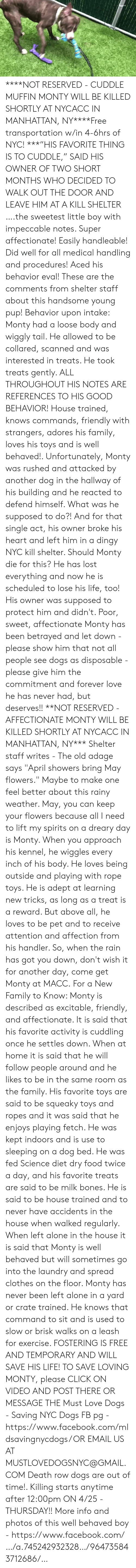 """Being Alone, Bones, and Click: ****NOT RESERVED - CUDDLE MUFFIN MONTY WILL BE KILLED SHORTLY AT NYCACC IN MANHATTAN, NY****Free transportation w/in 4-6hrs of NYC!  ***""""HIS FAVORITE THING IS TO CUDDLE,"""" SAID HIS OWNER OF TWO SHORT MONTHS WHO DECIDED TO WALK OUT THE DOOR AND LEAVE HIM AT A KILL SHELTER ….the sweetest little boy with impeccable notes. Super affectionate! Easily handleable! Did well for all medical handling and procedures! Aced his behavior eval! These are the comments from shelter staff about this handsome young pup! Behavior upon intake: Monty had a loose body and wiggly tail. He allowed to be collared, scanned and was interested in treats. He took treats gently. ALL THROUGHOUT HIS NOTES ARE REFERENCES TO HIS GOOD BEHAVIOR! House trained, knows commands, friendly with strangers, adores his family, loves his toys and is well behaved!. Unfortunately, Monty was rushed and attacked by another dog in the hallway of his building and he reacted to defend himself. What was he supposed to do?! And for that single act, his owner broke his heart and left him in a dingy NYC kill shelter. Should Monty die for this? He has lost everything and now he is scheduled to lose his life, too! His owner was supposed to protect him and didn't. Poor, sweet, affectionate Monty has been betrayed and let down - please show him that not all people see dogs as disposable - please give him the commitment and forever love he has never had, but deserves!! **NOT RESERVED - AFFECTIONATE MONTY WILL BE KILLED SHORTLY AT NYCACC IN MANHATTAN, NY***   Shelter staff writes - The old adage says """"April showers bring May flowers."""" Maybe to make one feel better about this rainy weather. May, you can keep your flowers because all I need to lift my spirits on a dreary day is Monty. When you approach his kennel, he wiggles every inch of his body. He loves being outside and playing with rope toys. He is adept at learning new tricks, as long as a treat is a reward. But above all, he loves to be pet a"""