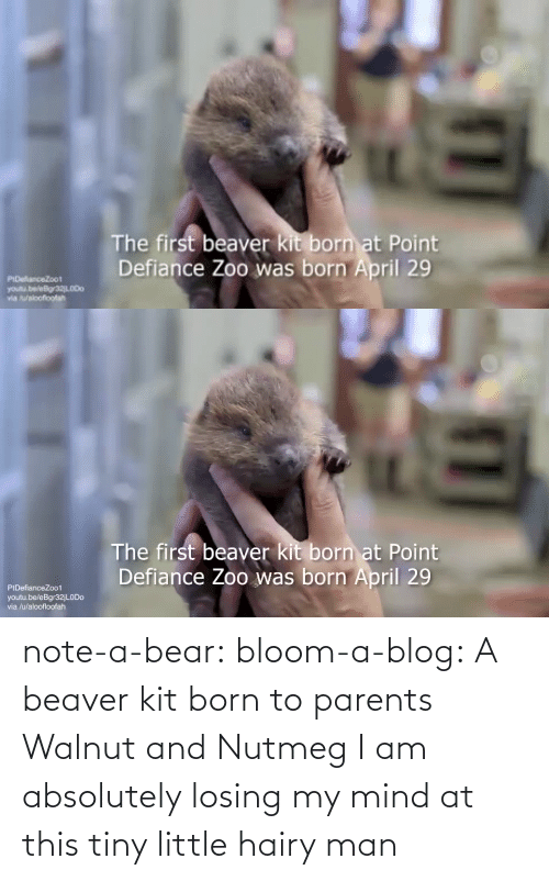 Mind: note-a-bear: bloom-a-blog:  A beaver kit born to parents Walnut and Nutmeg   I am absolutely losing my mind at this tiny little hairy man