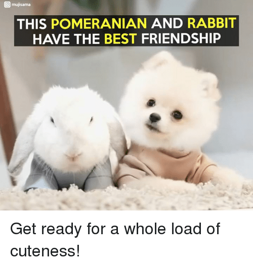 muji: O muji sama  THIS POMERANIAN AND RABBIT  HAVE THE BEST FRIENDSHIP Get ready for a whole load of cuteness!
