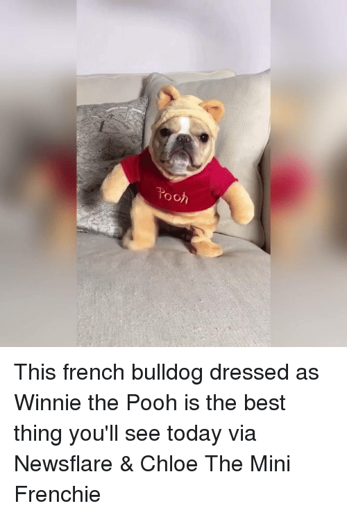 French Bulldogs: o of This french bulldog dressed as Winnie the Pooh is the best thing you'll see today   via Newsflare & Chloe The Mini Frenchie