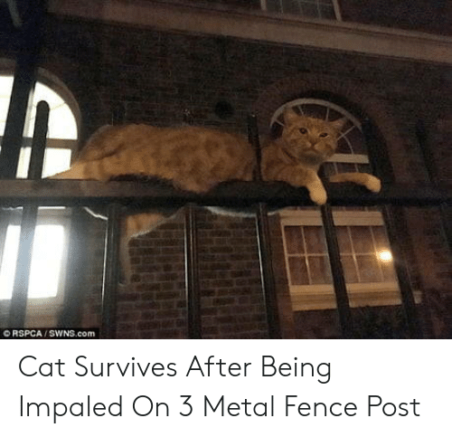 Rspca: O RSPCA / SWNS.com Cat Survives After Being Impaled On 3 Metal Fence Post