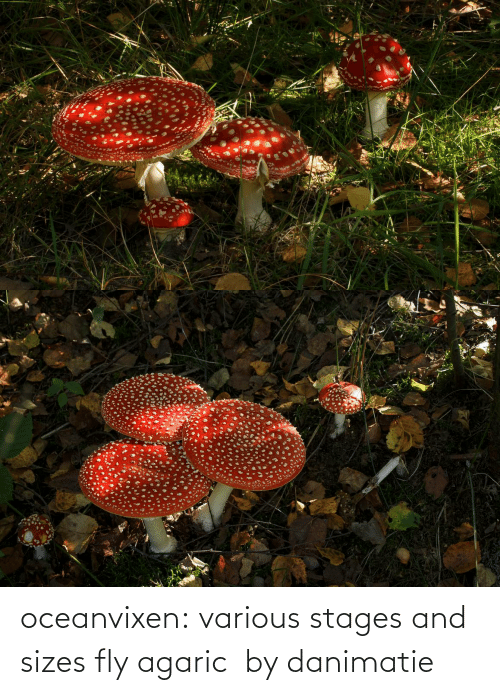 Stages: oceanvixen: various stages and sizes fly agaric  by danimatie