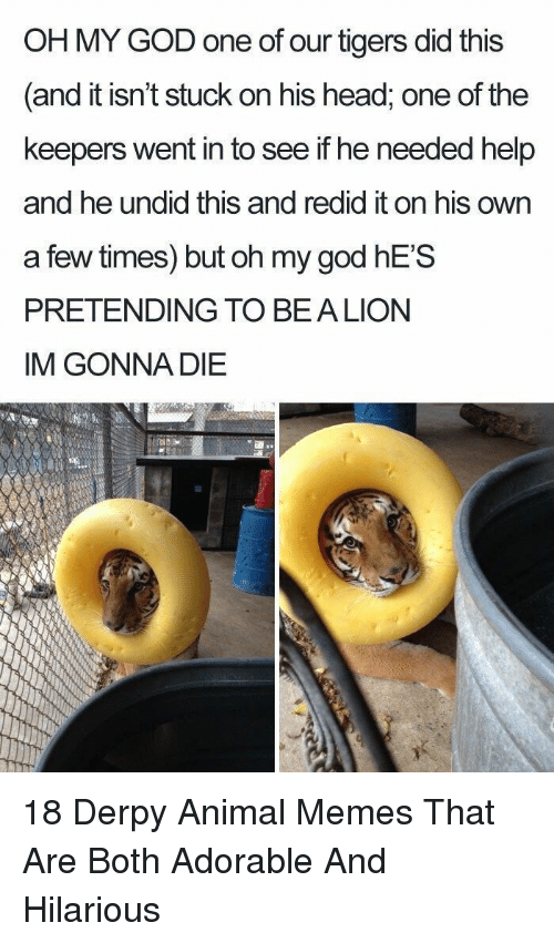 Im Gonna Die: OH MY GOD one of our tigers did this  and it isn't stuck on his head, one of the  keepers went in to see if he needed help  and he undid this and redid it on his own  a few times) but oh my god hES  PRETENDING TO BEALION  IM GONNA DIE 18 Derpy Animal Memes That Are Both Adorable And Hilarious