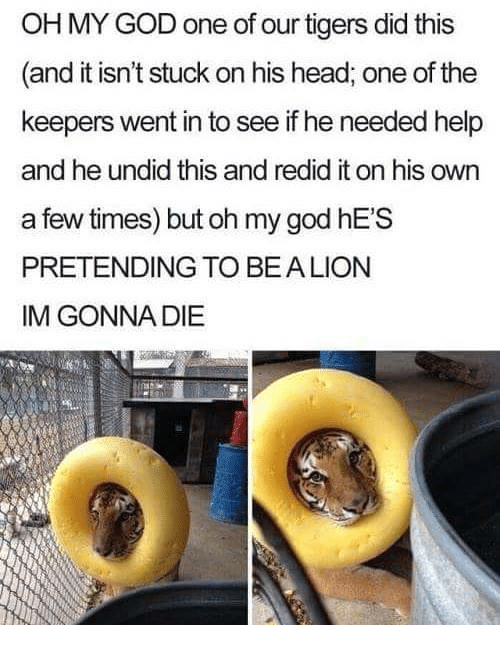 Im Gonna Die: OH MY GOD one of our tigers did this  (and it isn't stuck on his head, one of the  keepers went in to see if he needed help  and he undid this and redid it on his own  a few times) but oh my god hES  PRETENDING TO BEALION  IM GONNA DIE