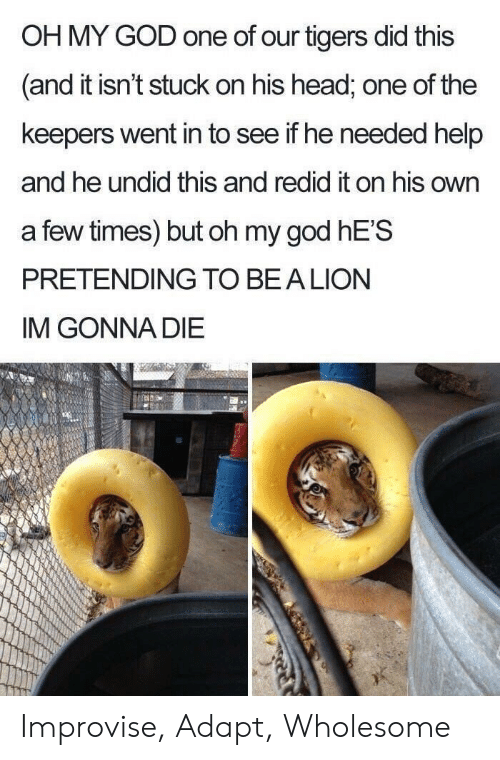 Im Gonna Die: OH MY GOD one of our tigers did this  and it isn't stuck on his head, one of the  keepers went in to see if he needed help  and he undid this and redid it on his own  a few times) but oh my god hE'S  PRETENDING TO BEA LION  IM GONNA DIE Improvise, Adapt, Wholesome