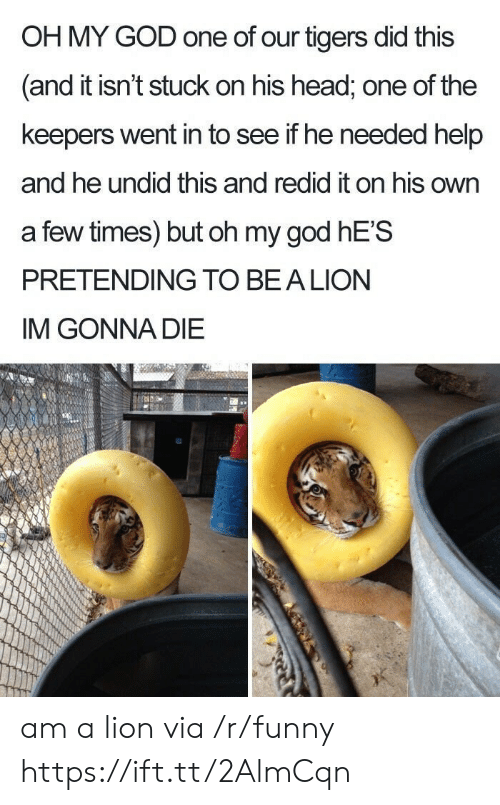 Im Gonna Die: OH MY GOD one of our tigers did this  and it isn't stuck on his head, one of the  keepers went in to see if he needed help  and he undid this and redid it on his own  a few times) but oh my god hE'S  PRETENDING TO BEALION  IM GONNA DIE am a lion via /r/funny https://ift.tt/2AlmCqn