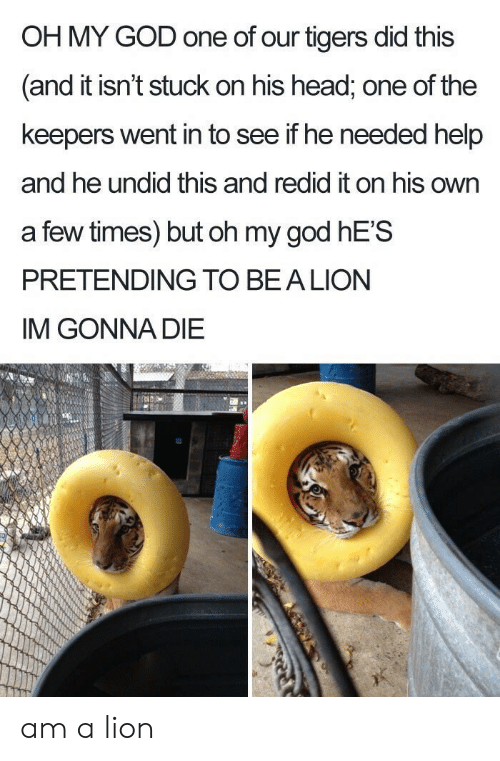 Im Gonna Die: OH MY GOD one of our tigers did this  and it isn't stuck on his head, one of the  keepers went in to see if he needed help  and he undid this and redid it on his own  a few times) but oh my god hE'S  PRETENDING TO BEALION  IM GONNA DIE am a lion