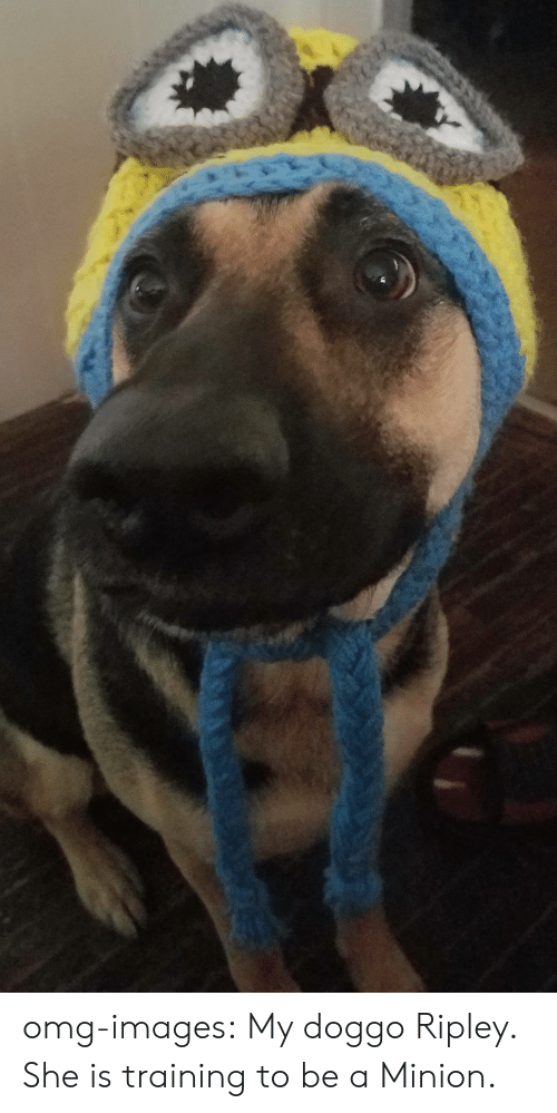 a minion: omg-images:  My doggo Ripley. She is training to be a Minion.