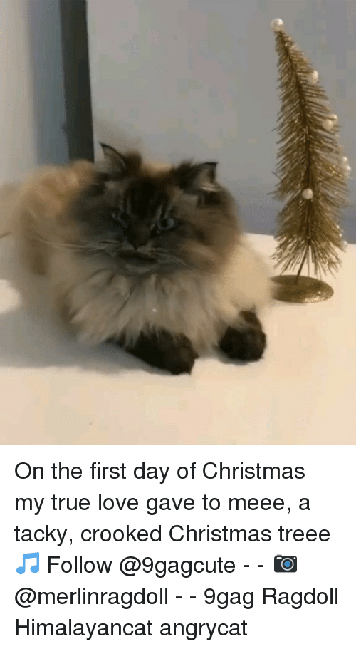 tacky: On the first day of Christmas my true love gave to meee, a tacky, crooked Christmas treee 🎵 Follow @9gagcute - - 📷@merlinragdoll - - 9gag Ragdoll Himalayancat angrycat