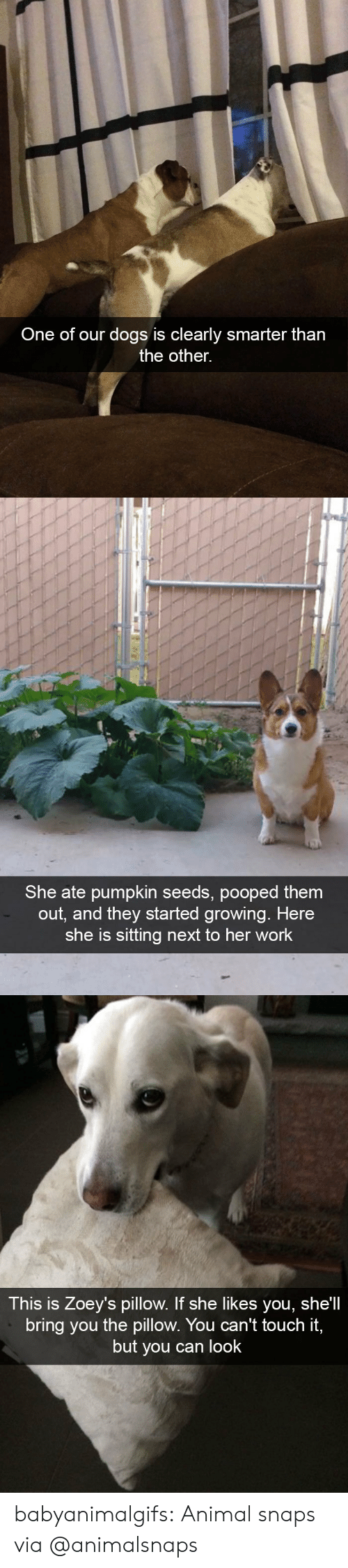 touch it: One of our dogs is clearly smarter tharn  the other.   She ate pumpkin seeds, pooped them  out, and they started growing. Here  she is sitting next to her work   This is Zoey's pillow. If she likes you, she'll  bring you the pillow. You can't touch it,  but you can look babyanimalgifs: Animal snaps via @animalsnaps
