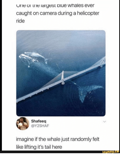 Camera, Whale, and One: One or the largest biue whales ever  caught on camera during a helicopter  ride  Shafeeq  @Y2SHAF  imagine if the whale just randomly felt  like lifting it's tail here  ifunny.c