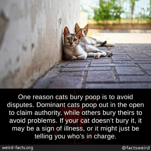 Cats, Facts, and Memes: One reason cats bury poop is to avoid  disputes. Dominant cats poop out in the open  to claim authority, while others bury theirs to  avoid problems. If your cat doesn't bury it, it  may be a sign of illness, or it might just be  telling you who's in charge.  weird-facts.org  @factsweird