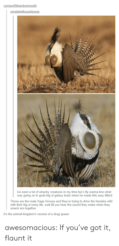 youve-got-it: onerof5thandvermo  unrelatedtouserbox  ive seen a lot of whacky creatures in my time but i rlly wanna kno what  was going on in gods big ol galaxy brain when he made this sexy titbird  Those are the male Sage Grouse and they're trying to drive the females wild  with their big ol noisy tits, wait till you hear the sound they make when they  smack em together  it's the animal kingdom's version of a drag queen awesomacious:  If you've got it, flaunt it