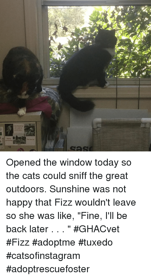 "Cats, Memes, and Happy: Opened the window today so the cats could sniff the great outdoors. Sunshine was not happy that Fizz wouldn't leave so she was like, ""Fine, I'll be back later . . . ""   #GHACvet #Fizz #adoptme #tuxedo #catsofinstagram #adoptrescuefoster"