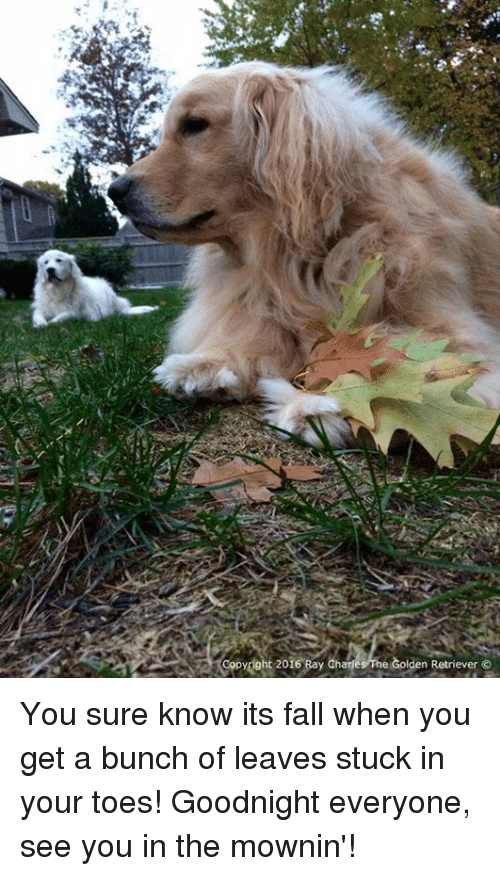Its Fall: opydght 2016 Bay Charles he Golden Retriever You sure know its fall when you get a bunch of leaves stuck in your toes! Goodnight everyone, see you in the mownin'!