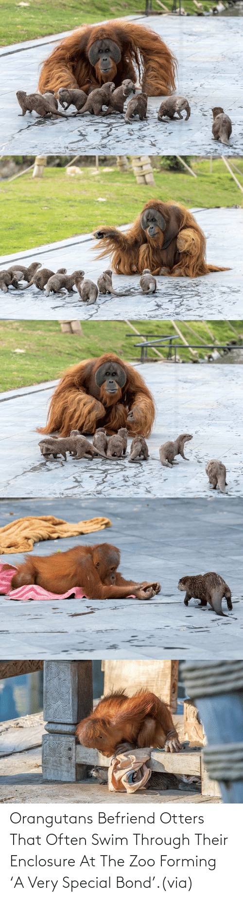 Often: Orangutans Befriend Otters That Often Swim Through Their Enclosure At The Zoo Forming 'A Very Special Bond'.(via)